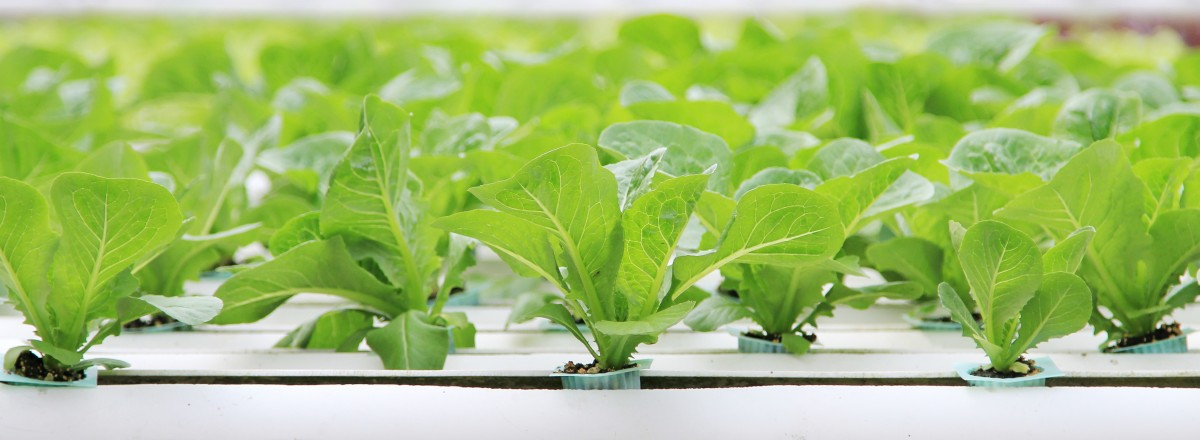 Organic Hydroponic vegetable farm.